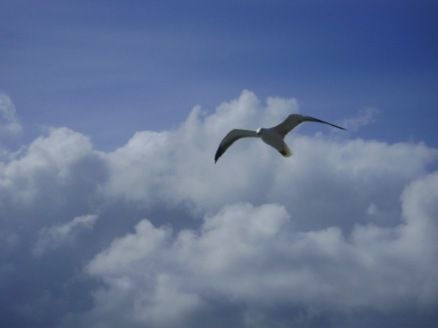 17 Seagull