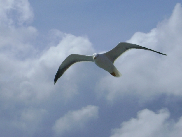 18 Seagull